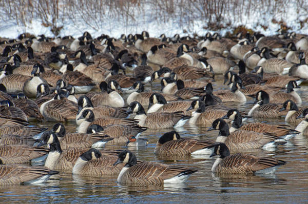 Photograph - Teal In The Gaggle by Beth Sawickie