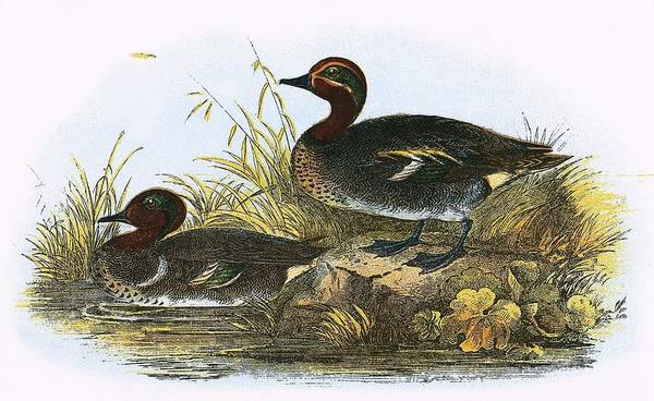 Wall Art - Painting - American Teal  by English School
