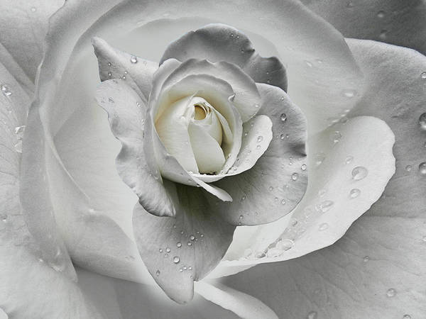 Soul Photograph - Tears In The Rosegarden by Joachim G Pinkawa