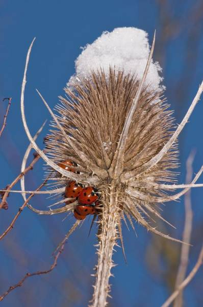 Hibernation Wall Art - Photograph - Teasel And Ladybirds by Science Photo Library