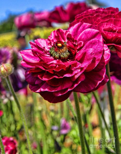 Photograph - Tecolote Ranunculus Flowers By Diana Sainz by Diana Raquel Sainz
