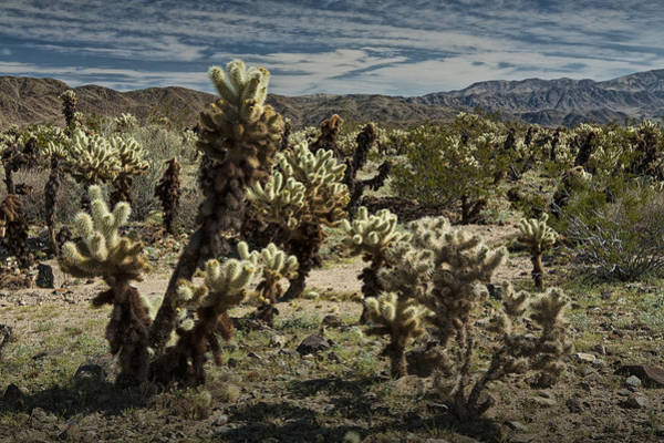 Cylindropuntia Bigelovii Photograph - Teddy Bear Cholla Cactus In California 0251 by Randall Nyhof