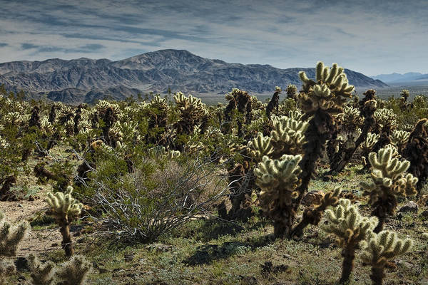 Cylindropuntia Bigelovii Wall Art - Photograph - Teddy Bear Cholla Cactus In California 0253 by Randall Nyhof
