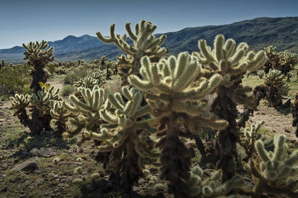 Cylindropuntia Bigelovii Photograph - Teddy Bear Cholla Cactus In California 0263 by Randall Nyhof