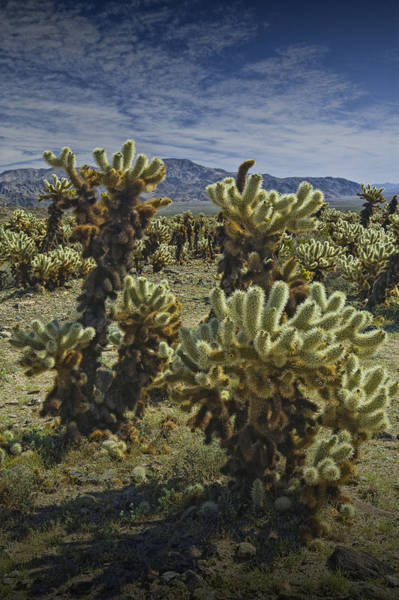 Cylindropuntia Bigelovii Photograph - Teddy Bear Cholla Cactus In California 0274 by Randall Nyhof