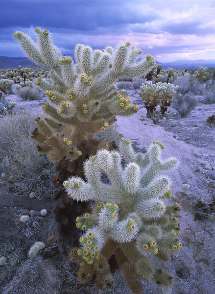 Cylindropuntia Bigelovii Wall Art - Photograph - Teddy Bear Cholla Catus Blooming by Tim Fitzharris