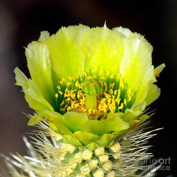 Opuntia Bigelovii Photograph - Teddy Bear Cholla Flower Ll by Douglas Taylor