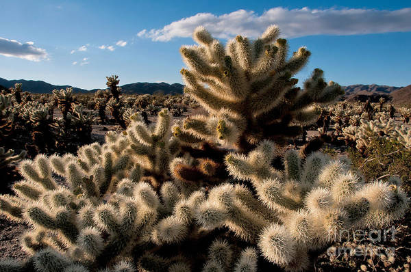 Cylindropuntia Bigelovii Photograph - Teddy Bear Cholla by Mark Newman
