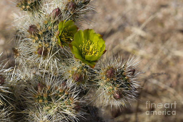 Cylindropuntia Bigelovii Photograph - Teddy-bear Cholla by Martha Marks
