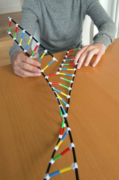 Conservative Wall Art - Photograph - Teenager Demonstrating Dna Replication by Lawrence Lawry