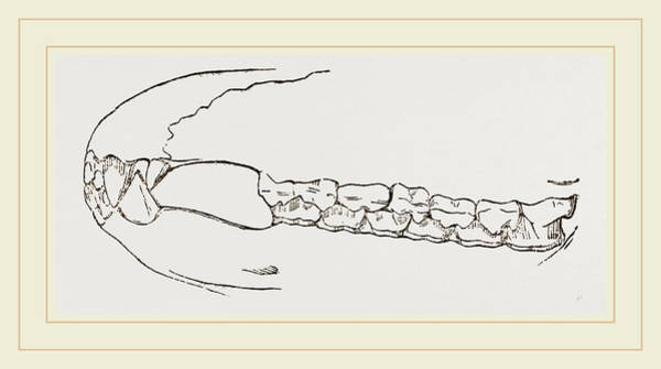Sumatran Drawing - Teeth Of Sumatran Tapir by Litz Collection