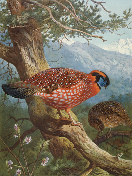 Wall Art - Photograph - Temminck's Tragopan by Natural History Museum, London/science Photo Library