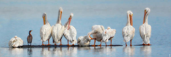 Photograph - Ten Pelicans Minus One by Jai Johnson