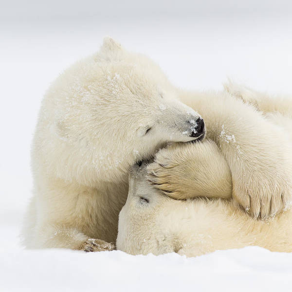 Sow Photograph - Tender Embrace by Tim Grams