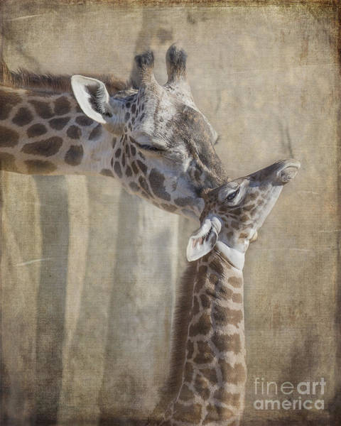 Houston Zoo Photograph - Tender Moment Between Mother And Calf Giraffe by TN Fairey