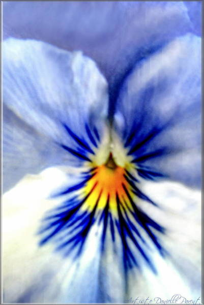 Photograph - Tender Pansy Heart by Danielle  Parent