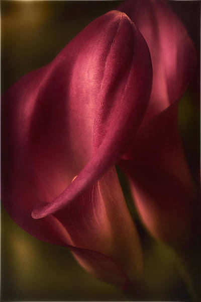 Calla Photograph - Tenderness by Darlene Kwiatkowski