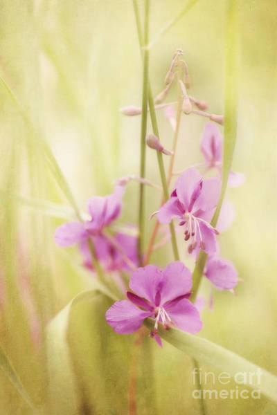 Fireweed Photograph - Tendresse by Priska Wettstein