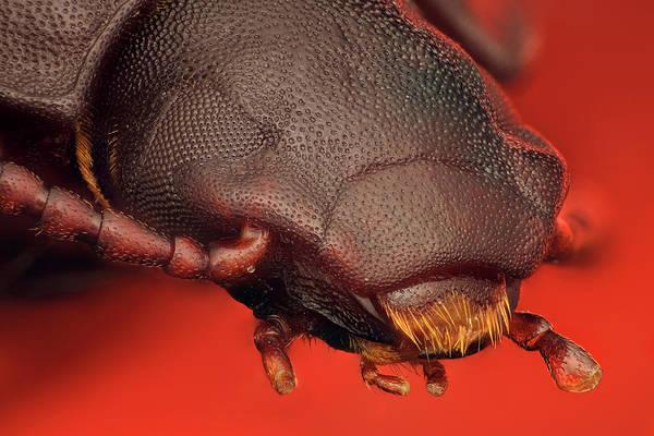 Tenebrionidae Wall Art - Photograph - Tenebrio Molitor by Javier Torrent - Vwpics