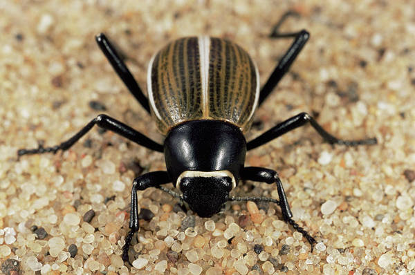 Tenebrionidae Wall Art - Photograph - Tenebrionid Beetle by Sinclair Stammers/science Photo Library