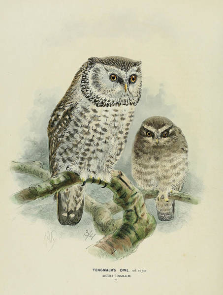 Owl Painting - Tengmalm's Owl  by Dreyer Wildlife Print Collections