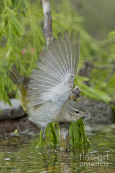 Parulidae Photograph - Tennessee Warbler by Anthony Mercieca