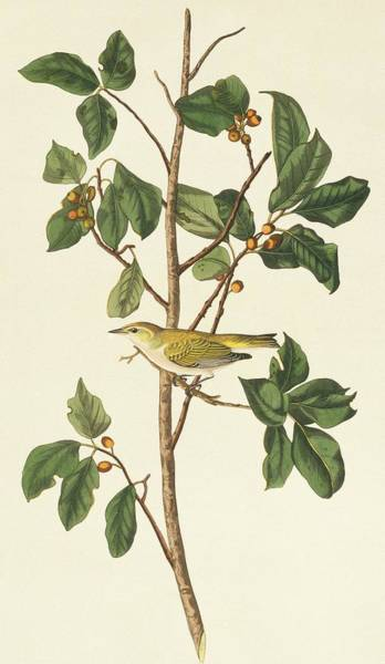 Aquatint Photograph - Tennessee Warbler by Natural History Museum, London/science Photo Library