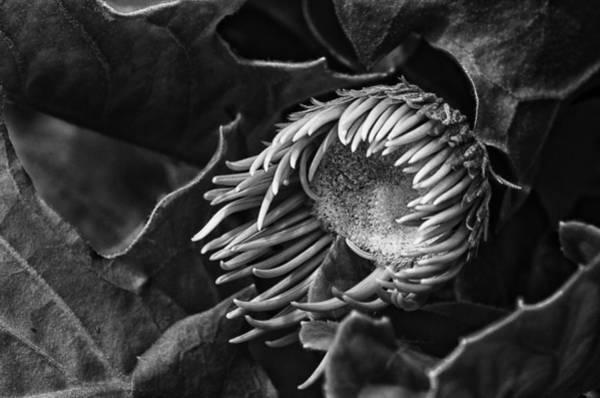 Gerbera Photograph - Tentacles by Susan Capuano