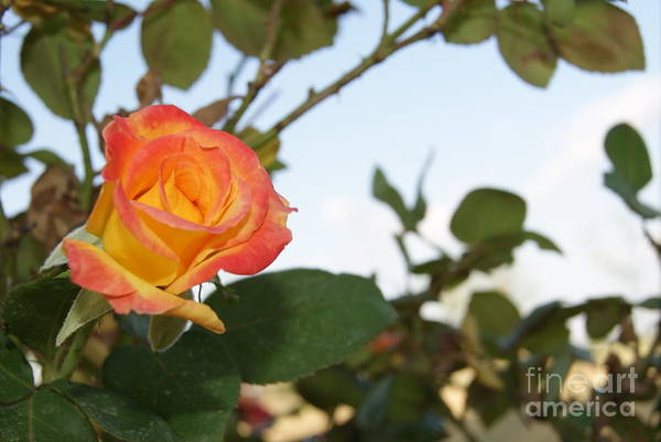 Tequila Sunrise Photograph - Tequila Rose by Lenora  Bruce