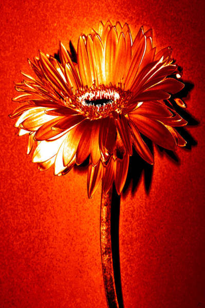 Tequila Sunrise Photograph - Tequila Sunrise Zinnia by Sherry Allen