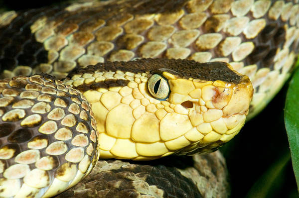 Asps Photograph - Terciopelo Snake by Millard H. Sharp