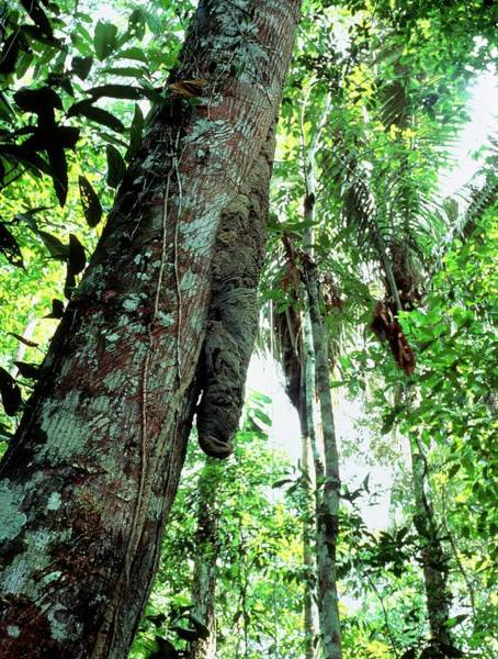 Mound Photograph - Termite Mound On A Rainforest Tree by Sinclair Stammers/science Photo Library