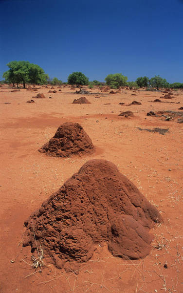 Mound Photograph - Termite Mound by Sinclair Stammers/science Photo Library