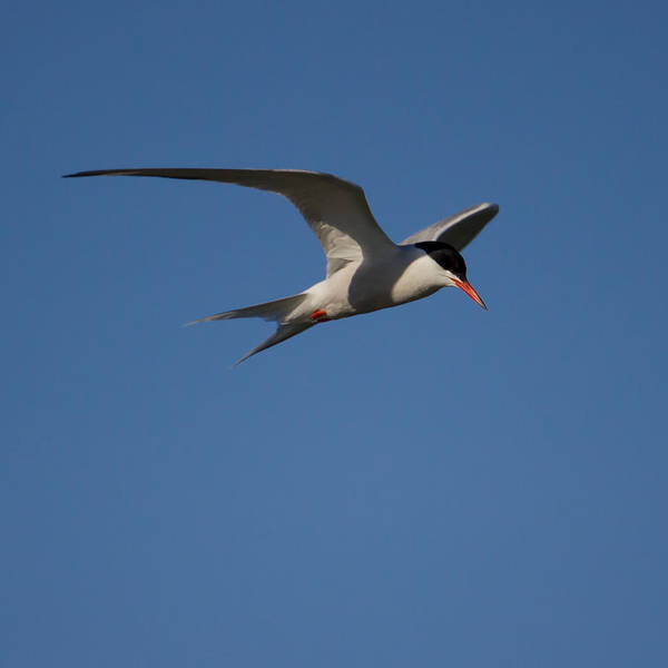 Photograph - Tern In Flight by Kirkodd Photography Of New England