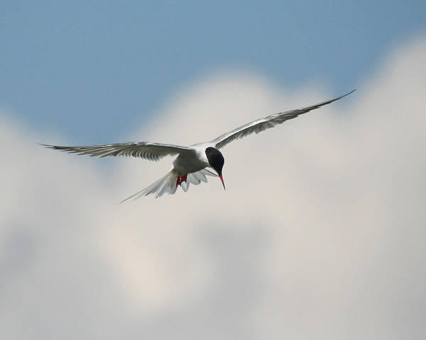 Photograph - Tern In Flight by William Selander