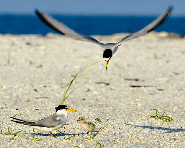 Photograph - Tern Over by AnnaJo Vahle