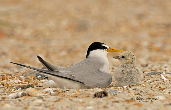 Photograph - Tern Towards The Other by Mike Fitzgerald