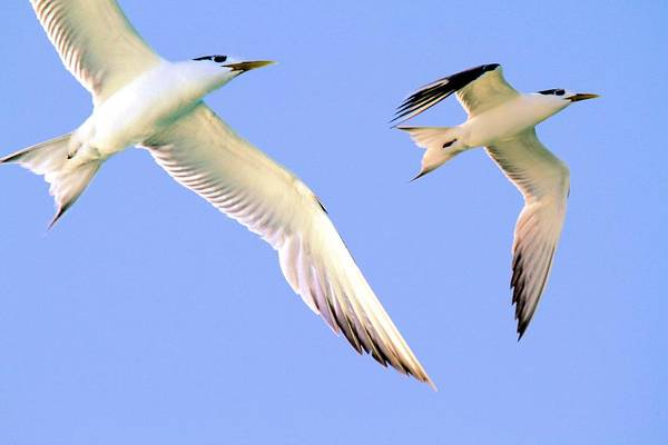 Photograph - Terns In Flight by David Rich