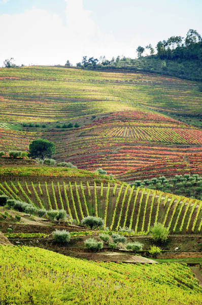 Cultivate Photograph - Terraced Field Vineyard  In Its Autumn by Ogphoto