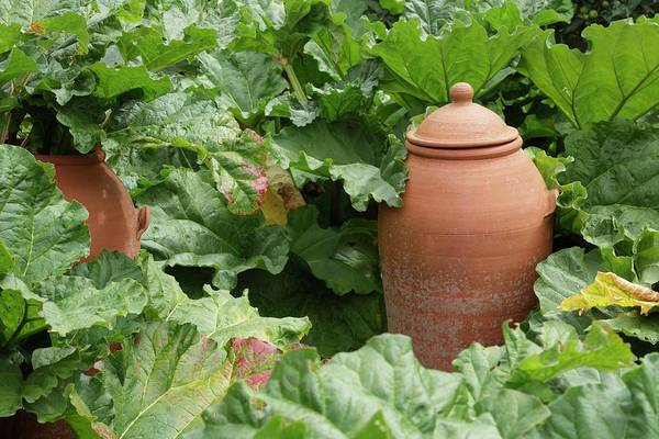 Perpetual Photograph - Terracotta Rhubarb Forcer by Geoff Kidd/science Photo Library
