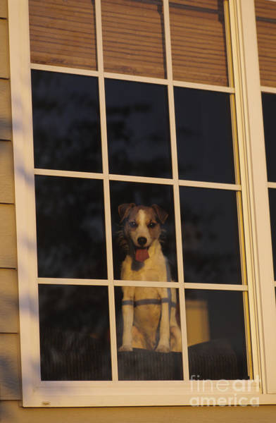 Dog Watch Photograph - Terrier At Window by Jim Corwin