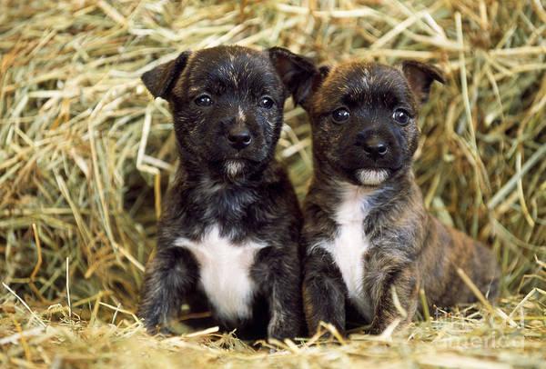 Sitting Bull Photograph - Terrier-cross Puppy Dogs by John Daniels