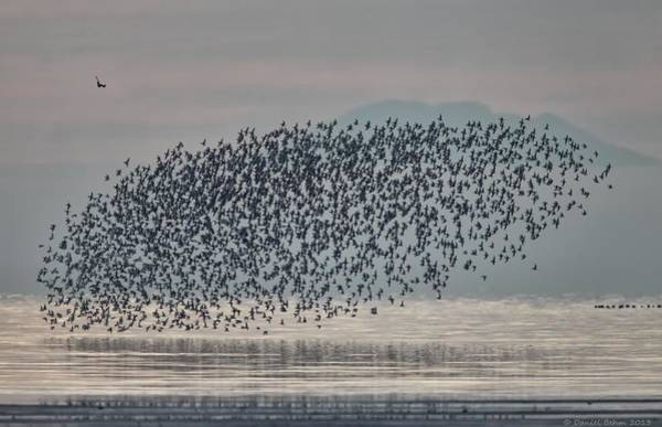 Dunlin Photograph - Terror In The Sky by Daniel Behm