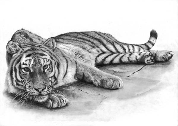 Drawing - Tessa Tiger by Peter Williams