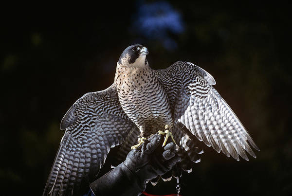Peregrine Photograph - Tethered Peregrine Falcon Falco by Animal Images