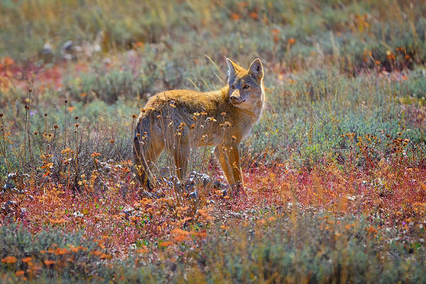 Wall Art - Photograph - Teton Coyote by Greg Norrell