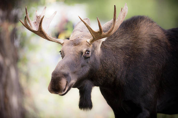 Alces Alces Photograph - Teton National Park, Wyoming, Usa by Janet Muir