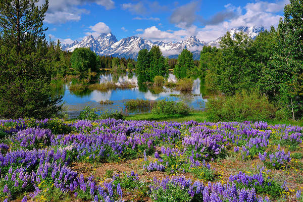 Art Print featuring the photograph Teton Spring Lupines by Greg Norrell