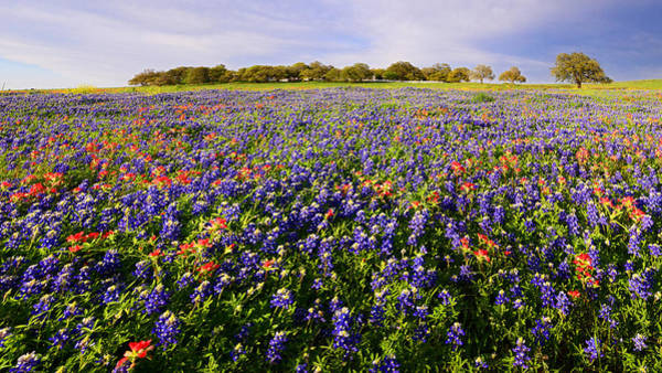 Photograph - Texas Bluebonnet And Paintbrush Panorama by Lynn Bauer