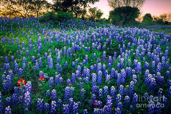 Botanic Photograph - Texas Bluebonnet Field by Inge Johnsson